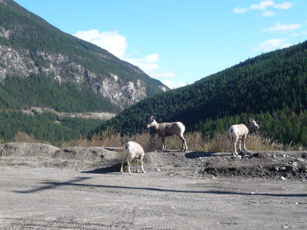 バンフに行く途中に山羊に出会った